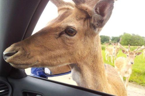 Feeding deer at Longleat