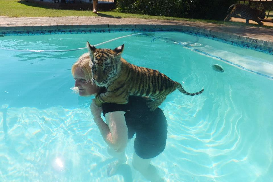 Swimming with tigers.