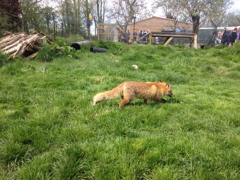 A fox safely rescued by Secret World.