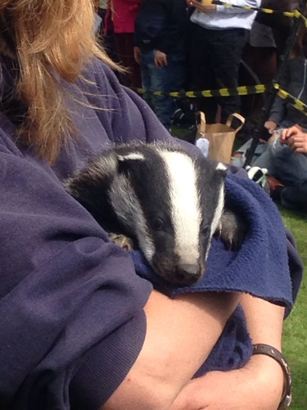 Gorgeous baby badger!