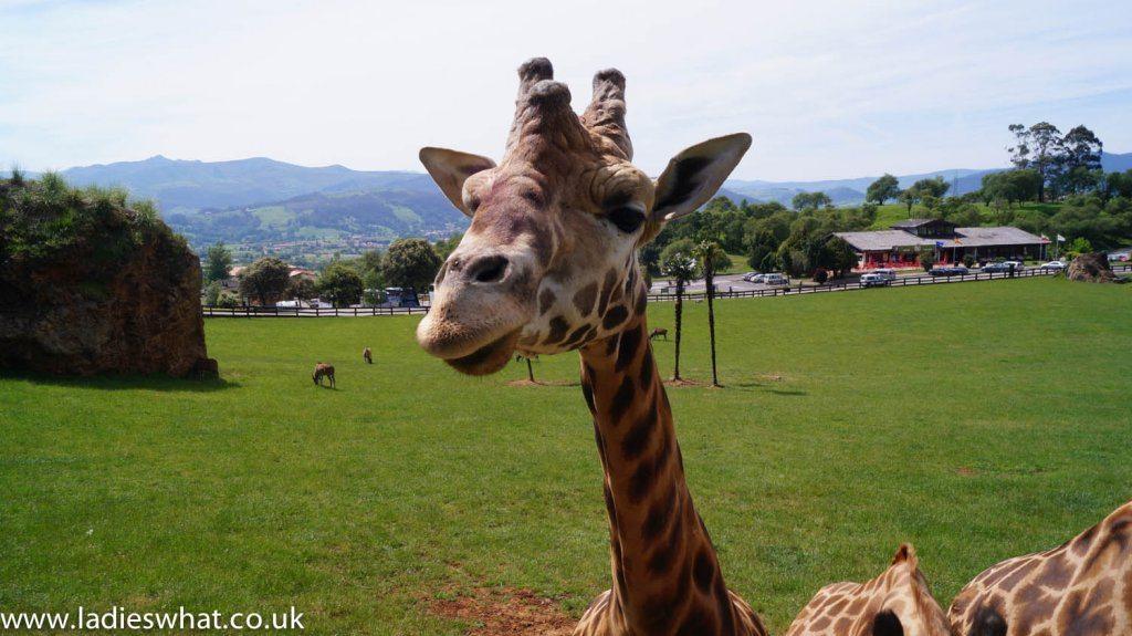 Cabarceno giraffe feeding