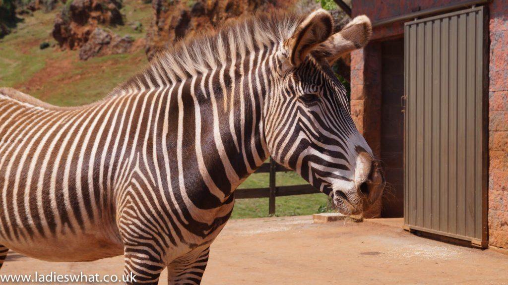 Cabarceno zebra