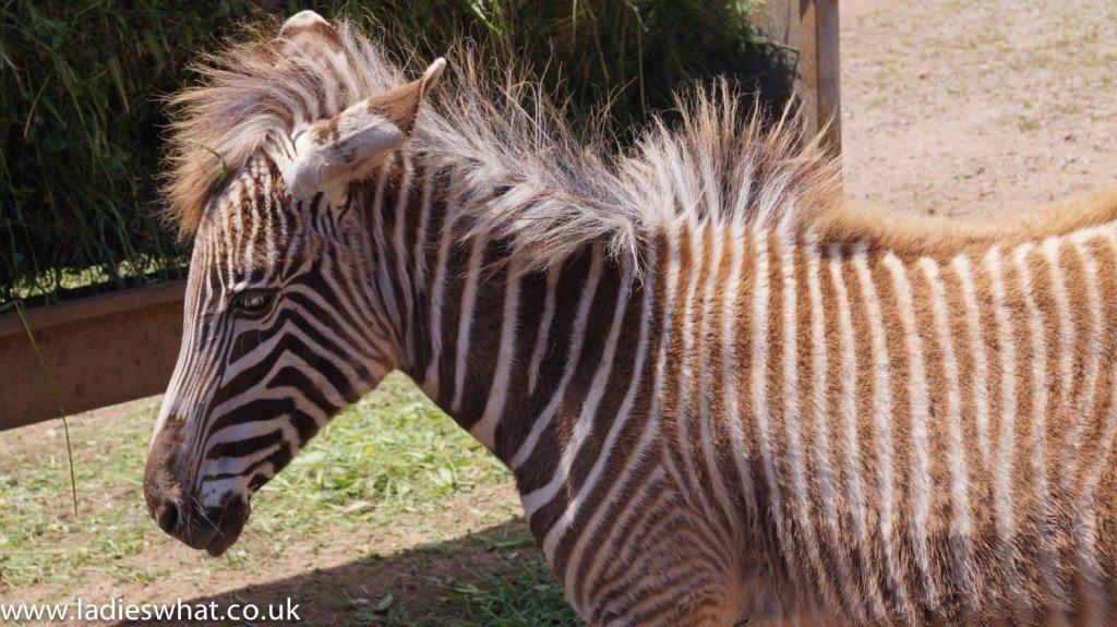 Cabarceno nature park zebra