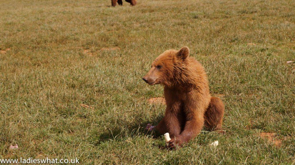 Cabarceno brown bears