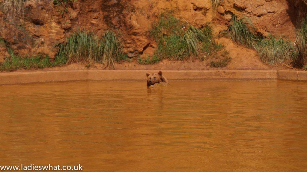 Cabarceno bear bathing