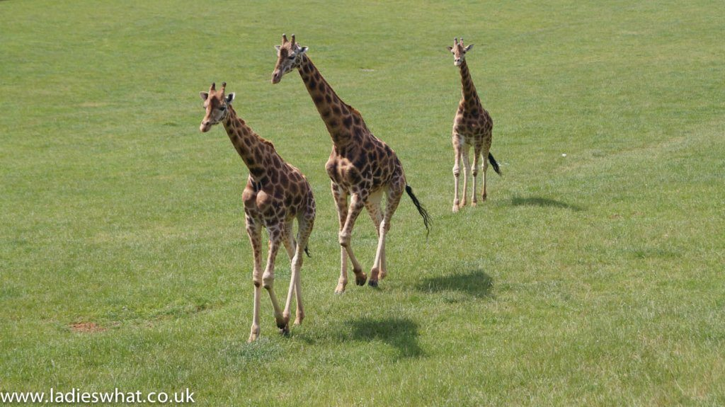 Cabarceno nature park giraffes
