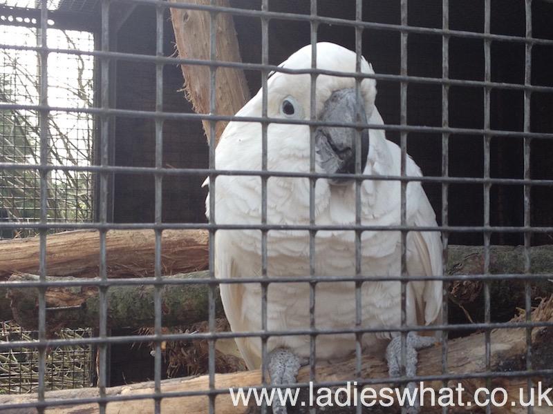 Claude the Cockatoo.