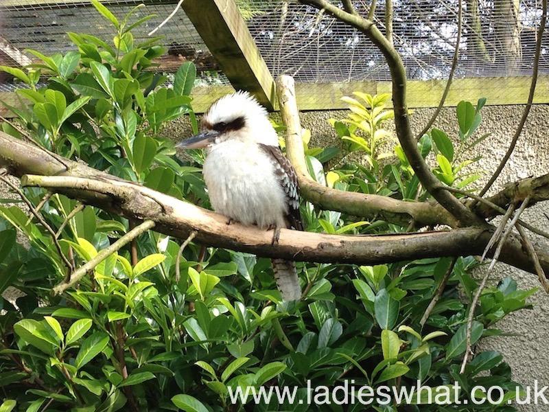 a Birdland kookaburra.