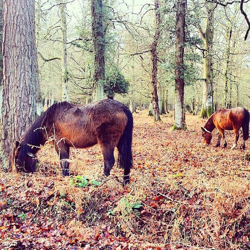 The beautiful New Forest ponies.