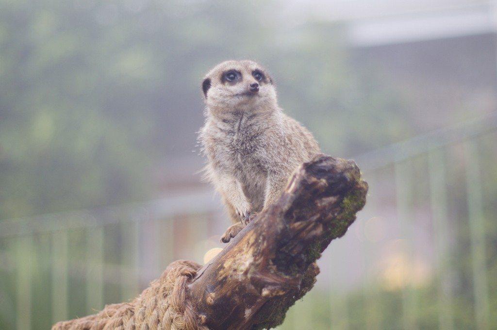 meerkat dartmoor zoo
