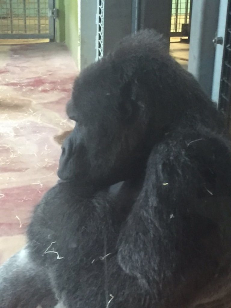 gorilla bristol zoo