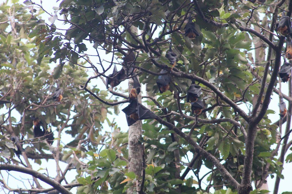 Fruit bats siem reap | Ladies What Travel