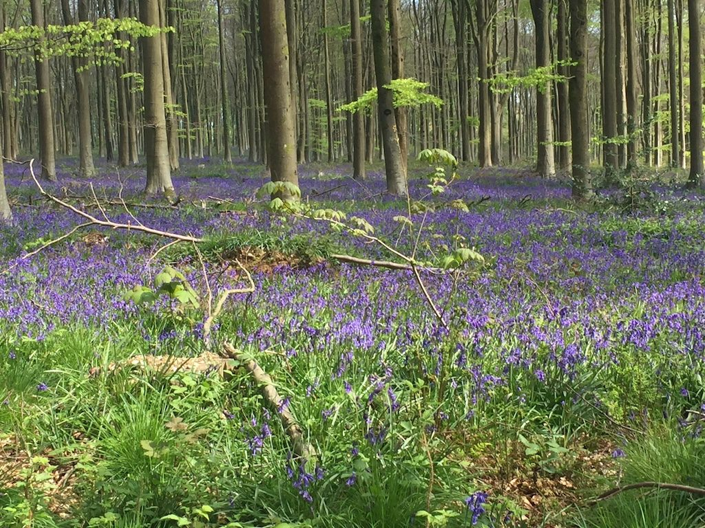 West Woods bluebell woods in wiltshire| Ladies What Travel