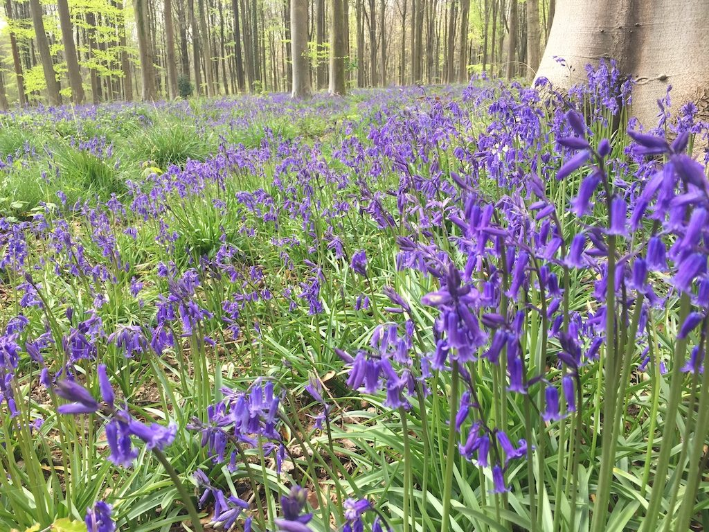 The Best Bluebell Woods In Wiltshire To Visit This Spring
