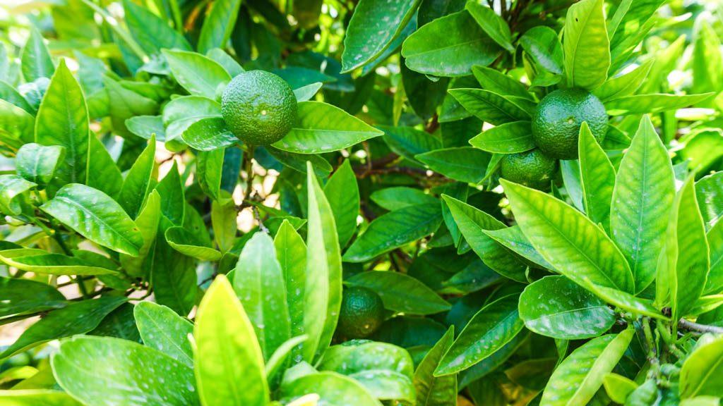 Orange orchard in Castellon