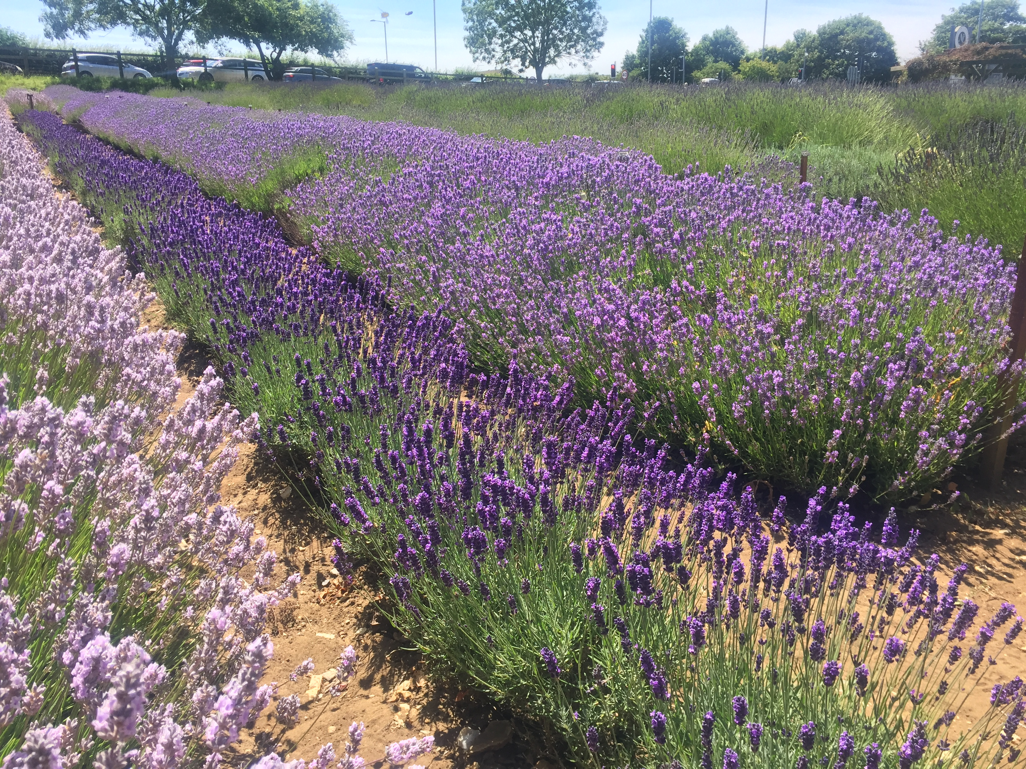 Lavender fields at Norfolk Lavender.