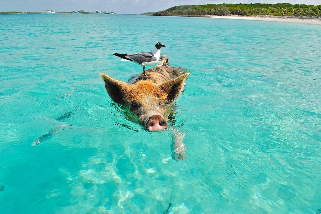 winter sun destinations - swimming with pigs in the caribbean