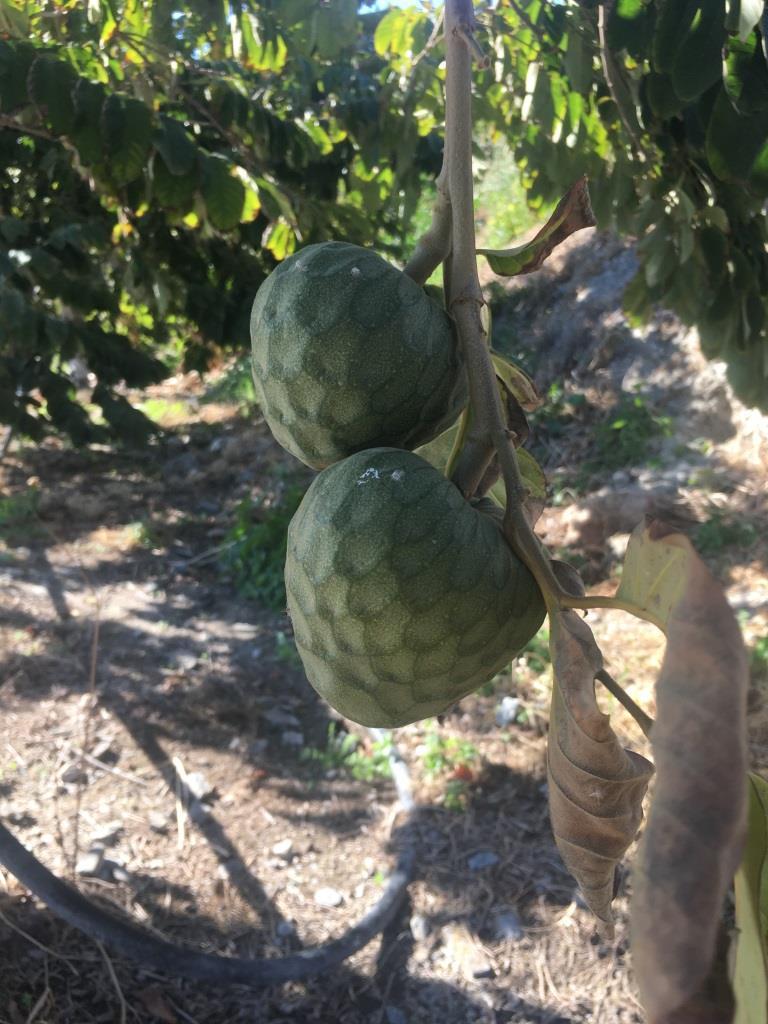 Costa Tropical: Chirimoya (custard apple)